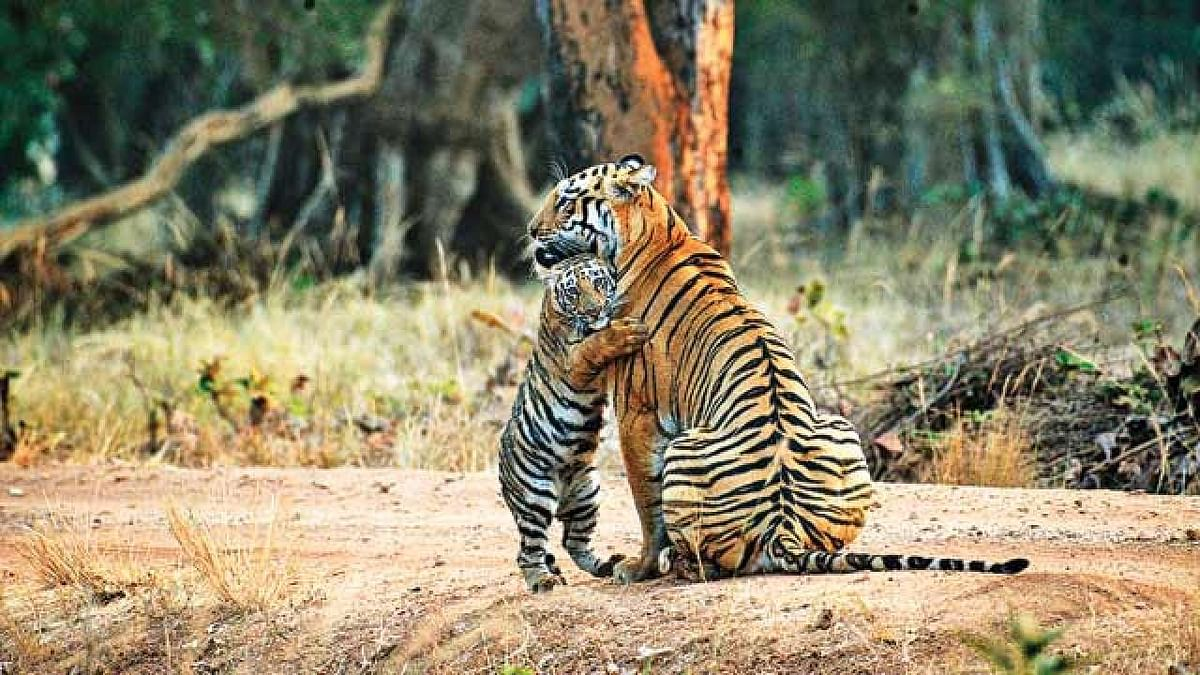 मध्यप्रदेश के पेंच टाइगर रिजर्व में पहुँचे 88 हजार से अधिक पर्यटक
