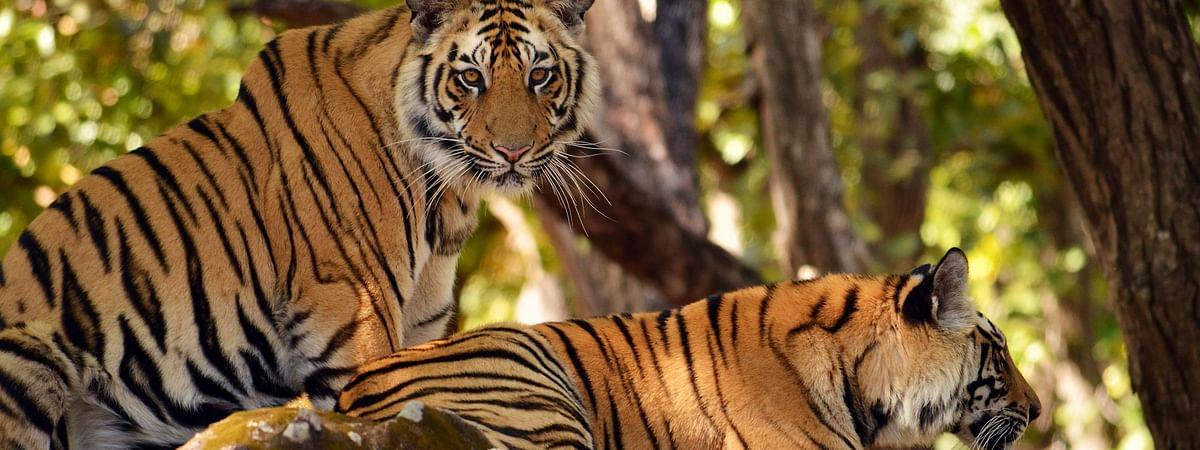 टाइगर रिजर्व क्षेत्र में शिकार की आशंका