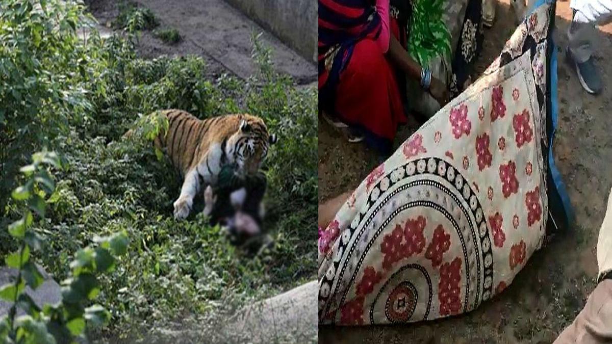 लकड़ी बीनने गई युवती का बाघ ने किया शिकार