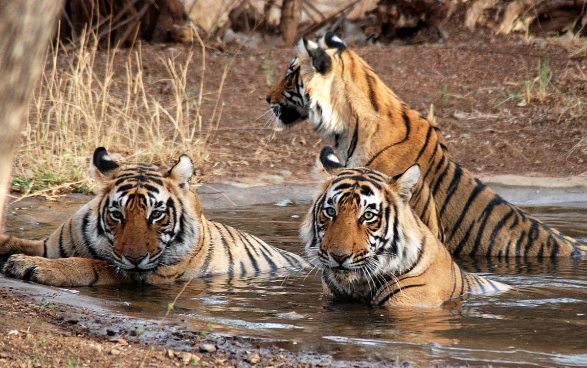 आज से खुलेंगे MP के सभी टाइगर रिजर्व, सैलानी कर सकेंगे वन्य प्राणियों के दीदार