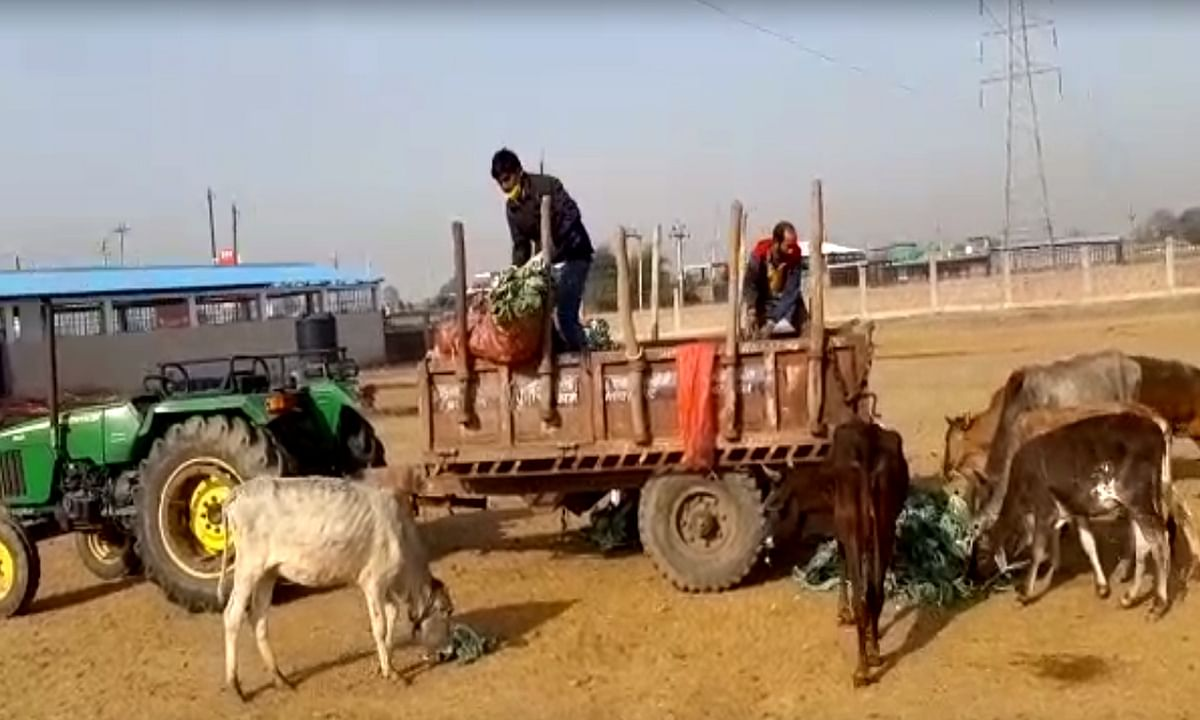 प्रशासन की लापरवाही से परेशान किसान गायों को खिला रहे हरी सब्जी