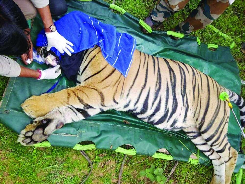 उमरिया: कल्लवाह में दहाड़ेगा नर बाघ, पार्क में टंकलाइज कर छोड़ा