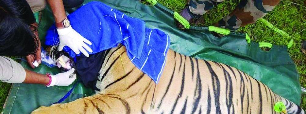 कल्लवाह में दहाड़ेगा नर बाघ, पार्क में टंकलाइज कर छोड़ा