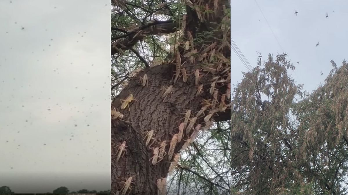 जबलपुर: फिर टिड्डी दल का हमला, किसानों की मौसमी फसलों को बनाया निवाला