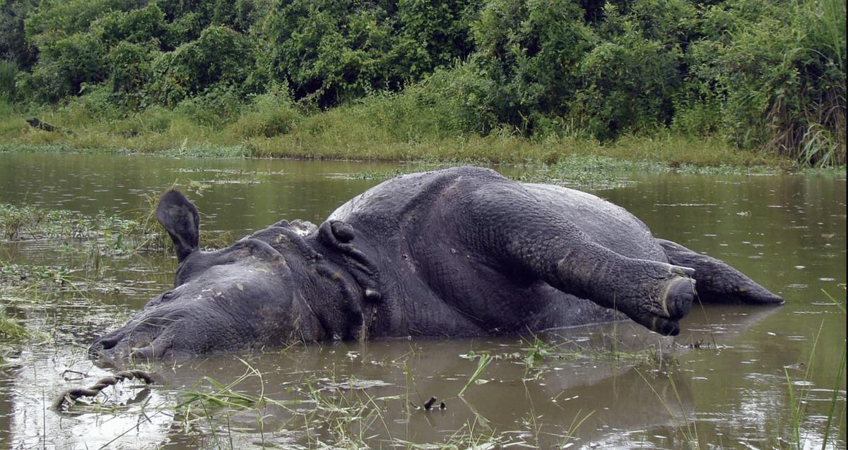 बाढ़ के कारण काजीरंगा राष्ट्रीय उद्यान का 90 फीसद हिस्सा पानी में डूबा