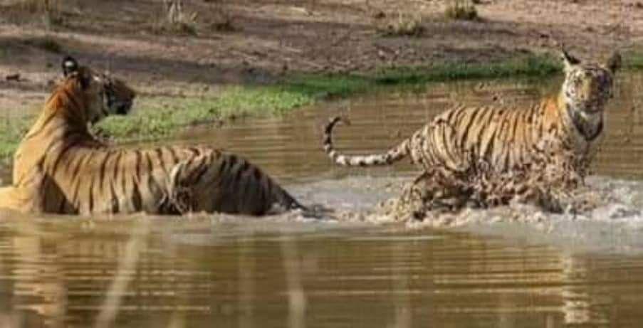 मस्ती करते हुए बाघ