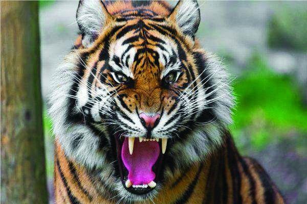 शहडोल : बाघ ग्रामीणों को बना रहे निशाना, सिकुड़ता जा रहा जंगल का दायरा