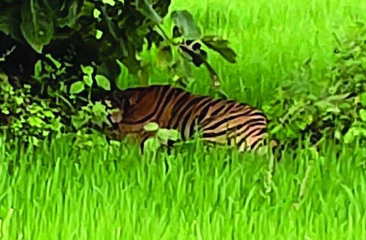 ब्योहारी : सरवाही खुर्द में गेहूं के खेत में दिखा बाघ