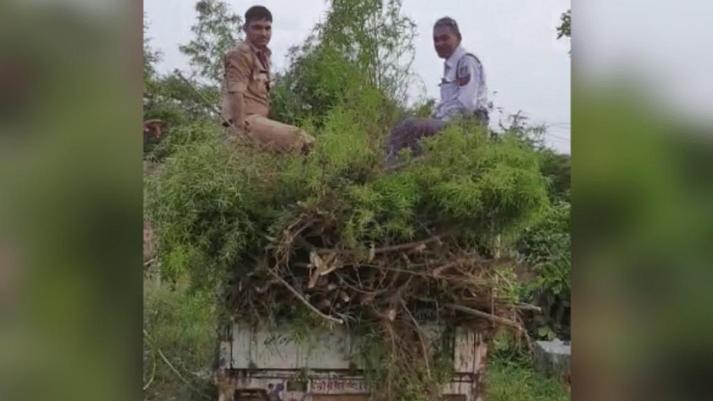 रायसेन: पुलिस की बड़ी कार्रवाई, 6 लाख रुपए के गांजे की फसल काटकर ले गई थाने