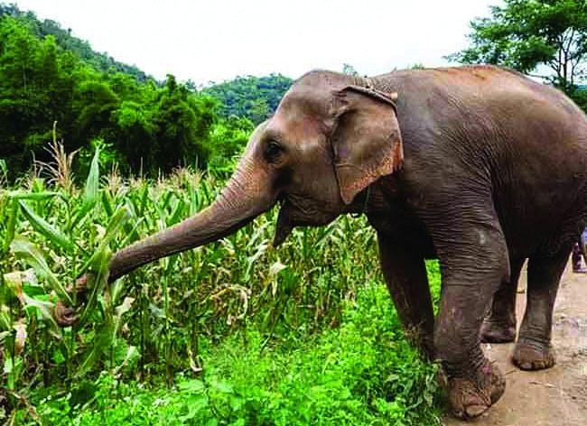 शहडोल : जंगली हाथियों के झुंड ने किसानों की फसलों को रौंदा