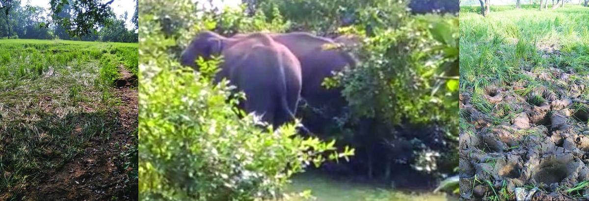 जंगली हाथियों ने शहर का किया रूख, तहस-नहस किये खेत खलिहान