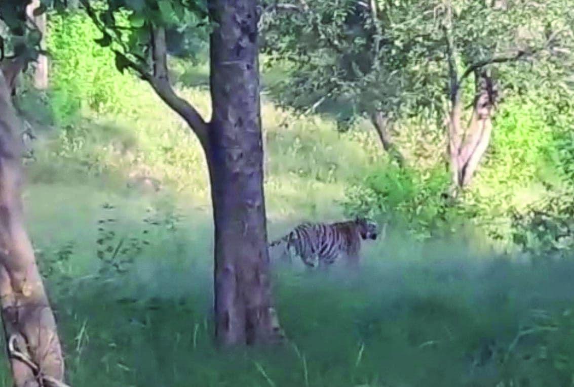 उमरिया : बांधवगढ़ में पर्यटकों को दिखे तीन बाघ