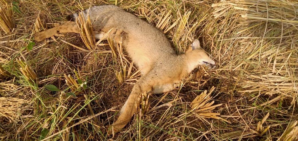जंगली बिल्ली मिली मृत