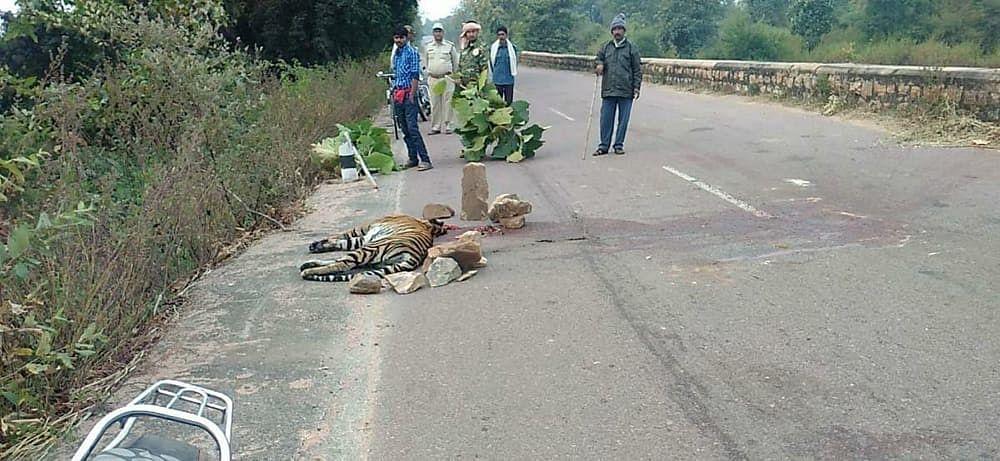 पन्ना : मध्यप्रदेश के पन्ना में सड़क हादसे में बाघिन की दर्दनाक मौत