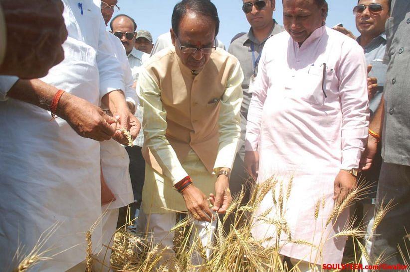 किसानों के बिच जाकर गेहूं की फसल का मुआयना करते शिवराज सिंह चौहान