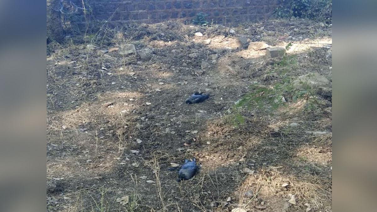 उज्जैन: शहर में बर्ड फ्लू ने दी दस्तक, बगीचे में मृत मिले 6 से ज्यादा कौवे