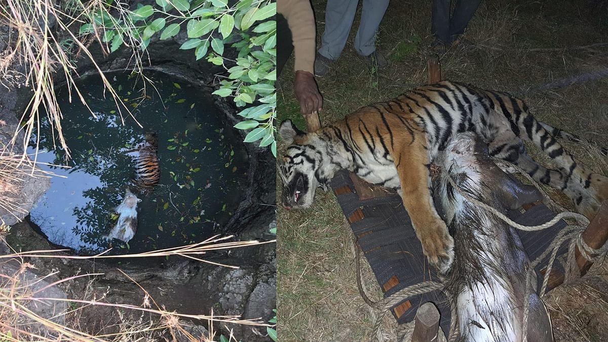 जंगली सूअर का शिकार करने दाैड़ा बाघ कुएँ में गिरा, दोनों की मौके पर हुई मौत