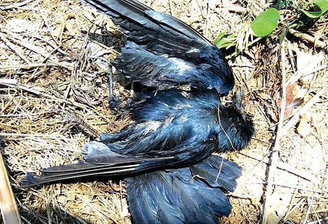 प्रदेश में बर्ड फ्लू की दस्तक, कई शहरों में पक्षियों की मौत का सिलसिला जारी