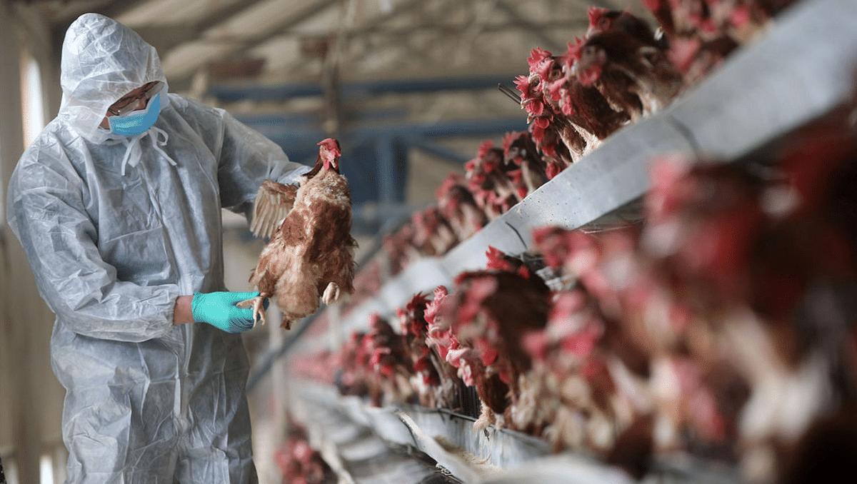 Bird Flu - पंचकूला में 1 लाख मुर्गियों और हिमाचल में 1800 पक्षियों की मौत