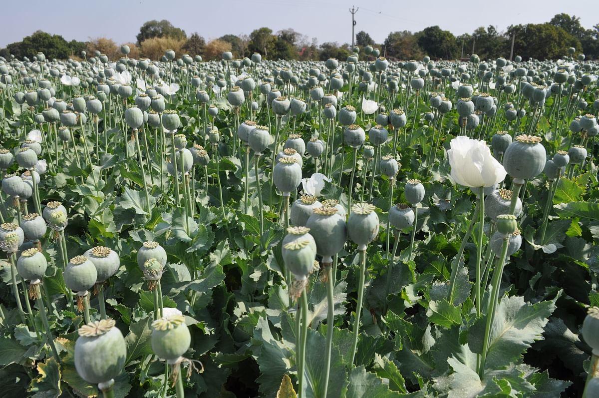 ग्वालियर : सिरोल हाईवे के पास 3 करोड़ की अफीम की खेती होती मिली