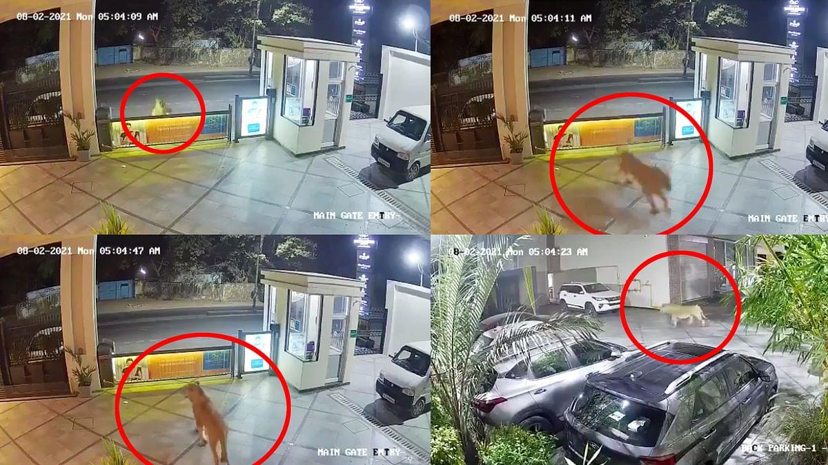 गुजरात : जूनागढ़ के होटल में अचानक घुस आया शेर, वीडियो हो रहा वायरल