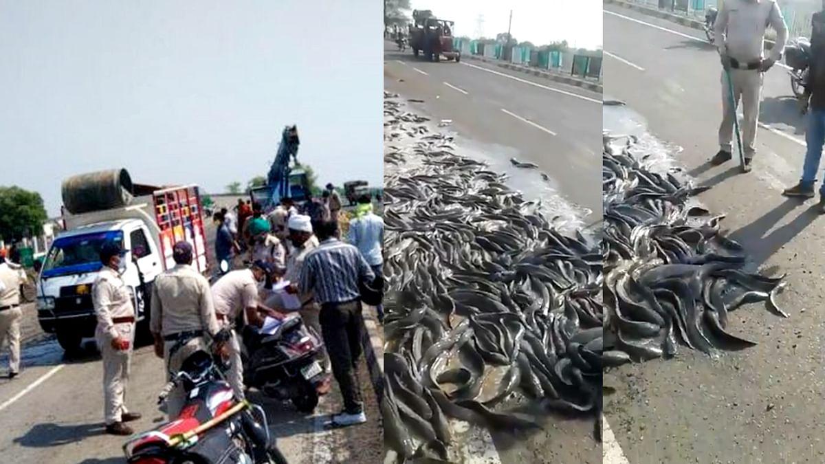 जबलपुर: अनियंत्रित होकर पलटा मछलियों से भरा ट्रक, सड़क पर लूटने उमड़े ग्रामीण