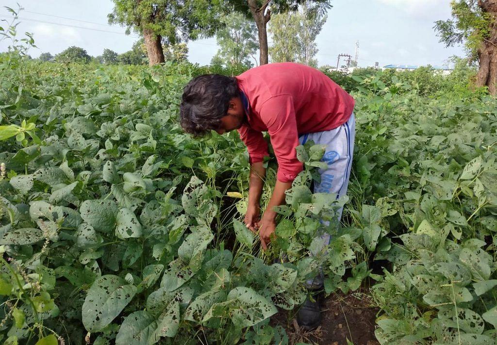 Multai : बारिश नहीं होने से फसलों में लगने लगे कीड़े