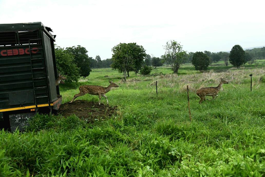 सतपुड़ा के जंगलों में कुलांचे भरेंगे पेंच नेशनल पार्क के चीतल