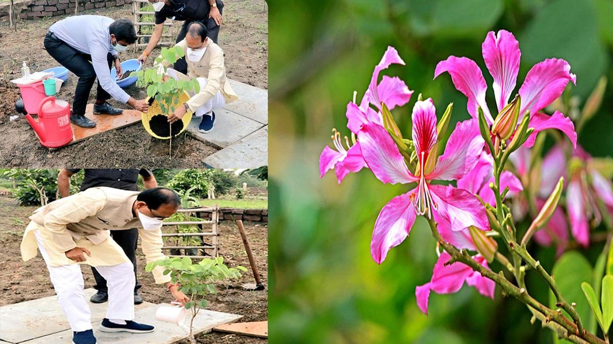 भोपाल में आज सीएम ने लगाया कचनार का पौधा, कहा- 'कचनार सुंदर फूलों वाला वृक्ष है'