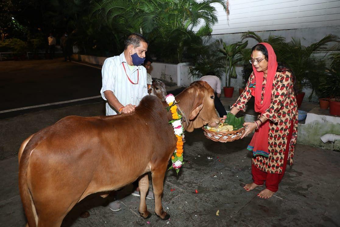Bhopal : मुख्यमंत्री निवास में विधि-विधान से साधना सिंह ने की बैल पूजा