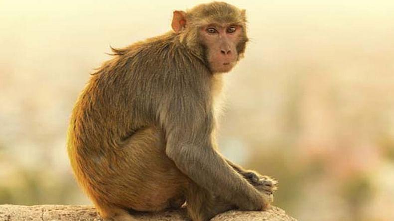 मथुरा में तीर्थयात्रियों को बंदरों से मिलेगी निजात,बंदर पकड़ो अभियान शुरु