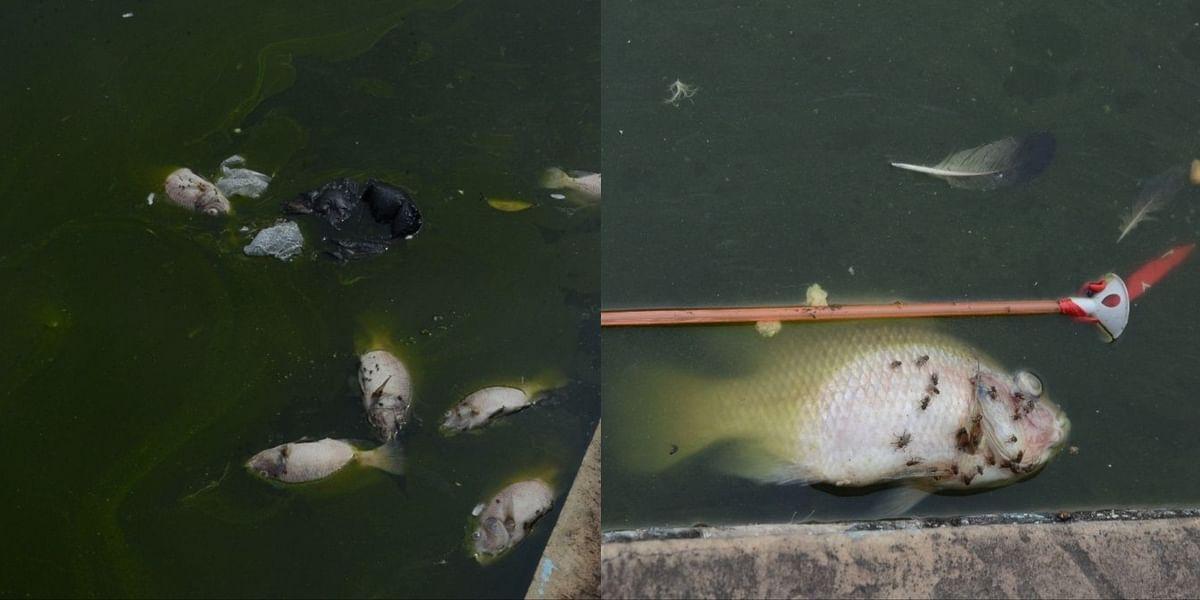 Gwalior : कीचड़ हुआ पानी, लगातार मर रहीं मछलियां, बदबू से परेशान हुए सैलानी