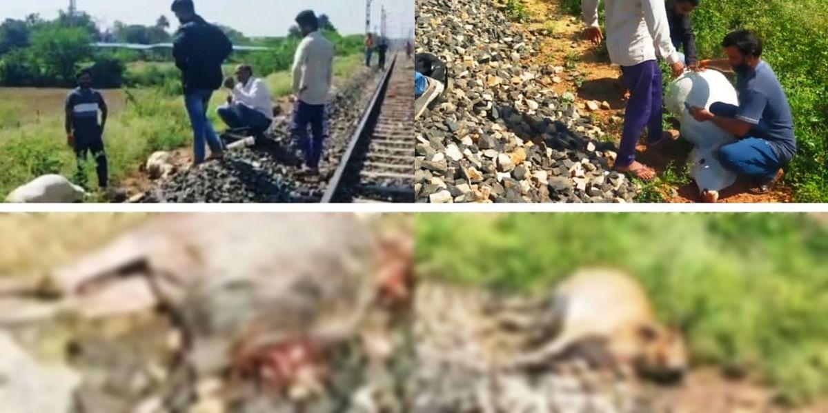 Gwalior : ट्रेन की चपेट में आने से 16 गायों की मौत