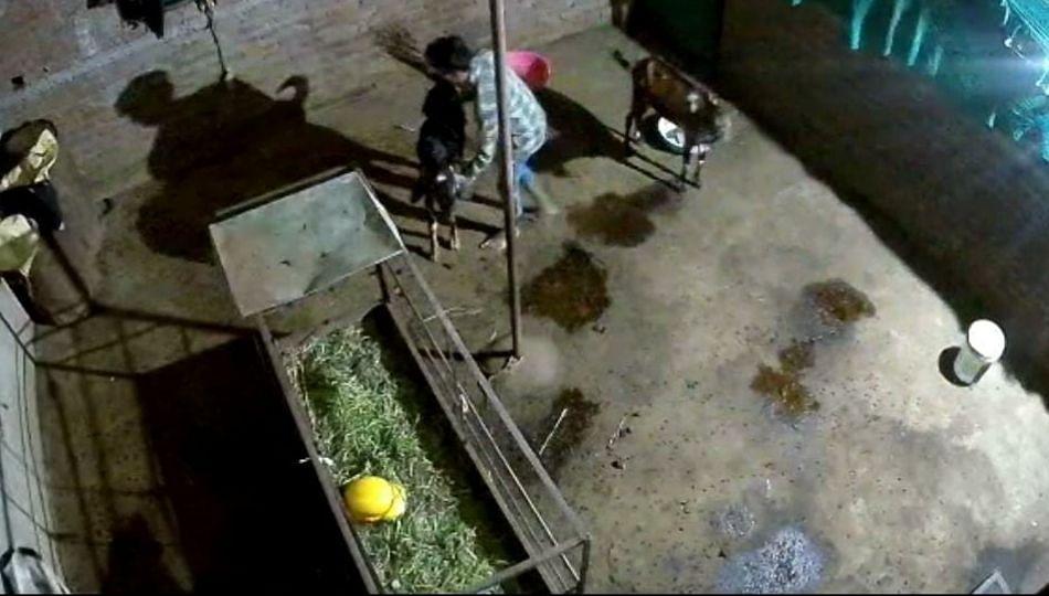 चोरट्यांनी पळवले दोन बोकड; घटना सीसीटीव्हीत कैद...