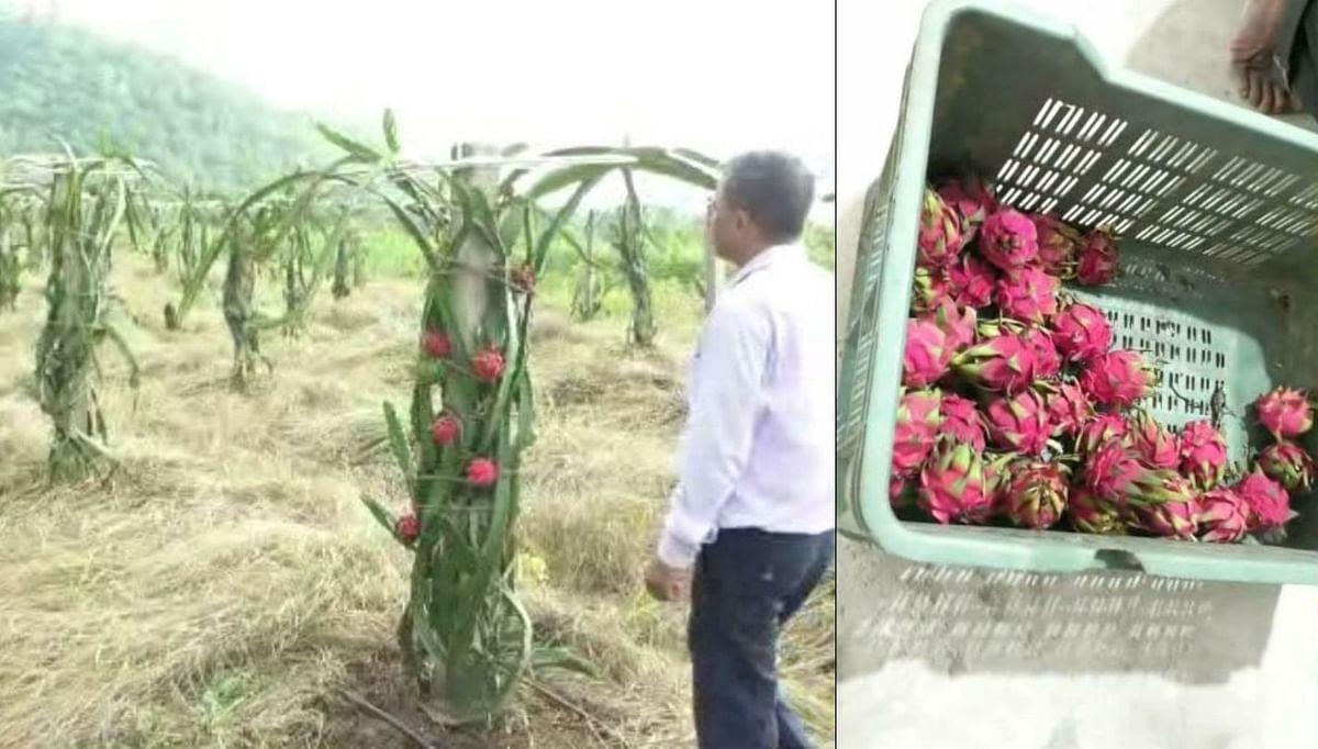 गोंदियात फुलतेय ड्रॅगन फळाची शेती; कमवतोय लाखोंचे उत्पन्न