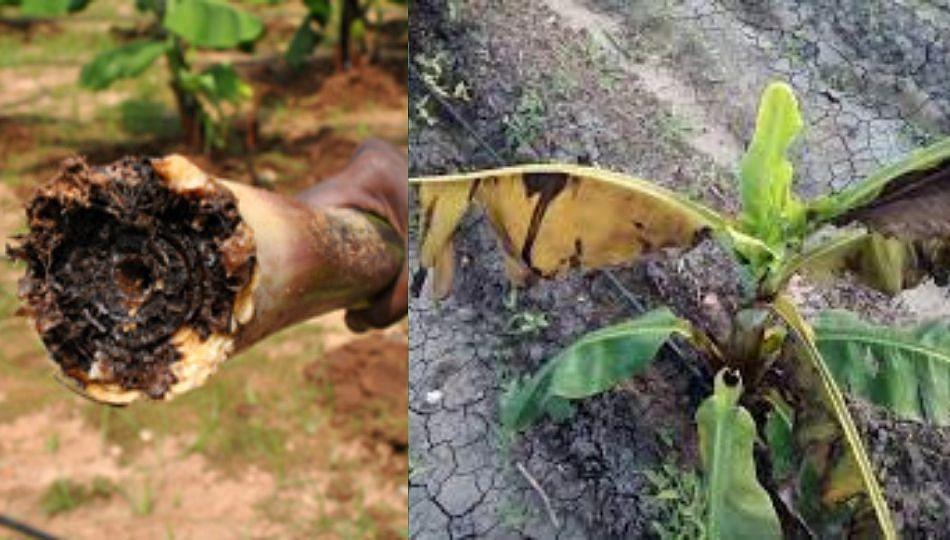 केळीवर ईर्व्हीनिया रॉट रोगाची लागण