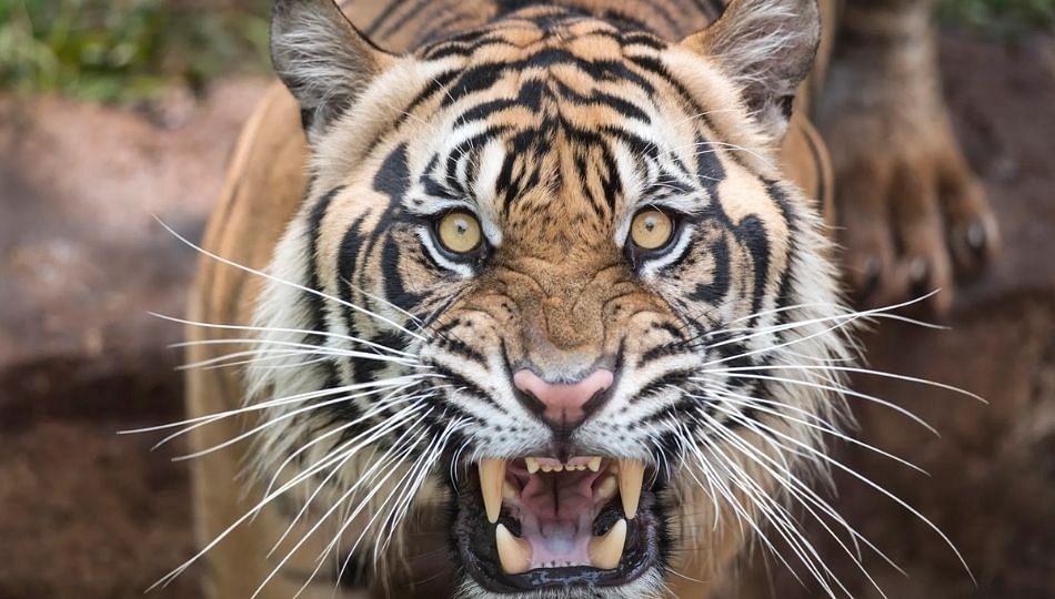 Tiger Attack : वाघाच्या हल्ल्यात गुराखी जखमी; भंडाऱ्यातील चौथी घटना!