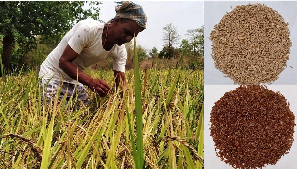 रायगड जिल्ह्यात आता विविध रंगी भाताचे उत्पादन