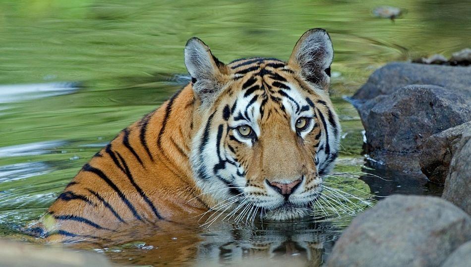 धक्कादायक|वाघाच्या हल्लात 60 वर्षीय वृध्दाचा मृत्यु