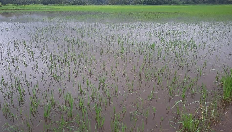 रत्नागिरीत भाती शेती धाेक्यात; पुढचे 18 तास महत्वाचे