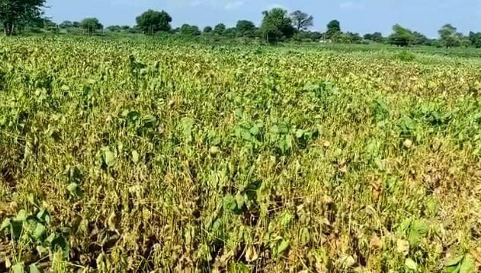 पावसाअभावी सोयाबीन पीक धोक्यात; शेतकरी हवालदिल