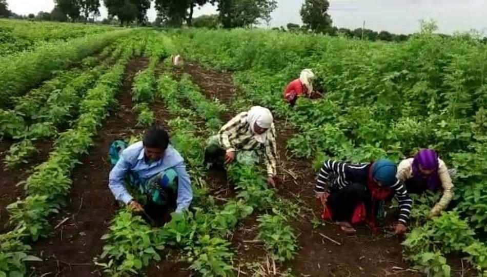 अतिवृष्टीमुळे शेतकऱ्यांवर दुबार खर्चाचे संकट