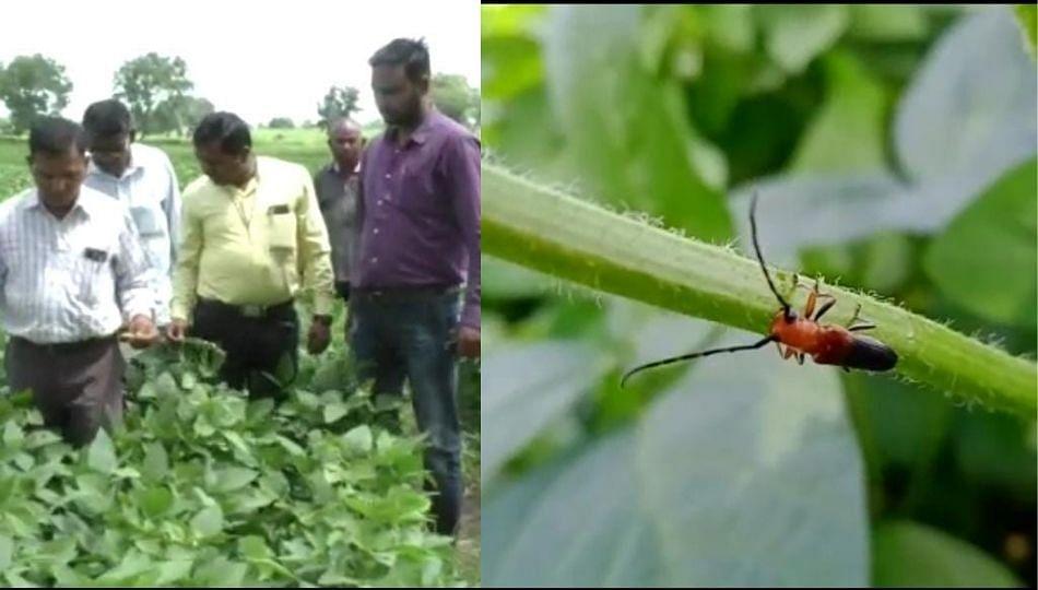वाशिम जिल्ह्यात सोयाबीन पिकांवर विविध रोग, किडीचा प्रादुर्भाव