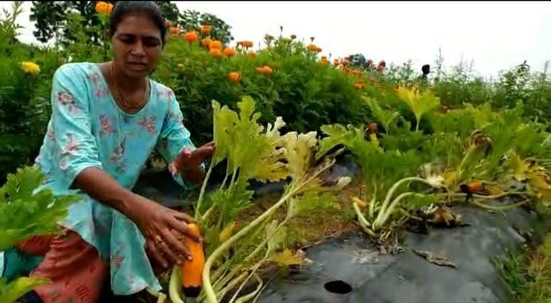 महिला शेतकऱ्याने फुलवली सेंद्रिय बागायती शेती; झुकिनी भाजीची लागवड