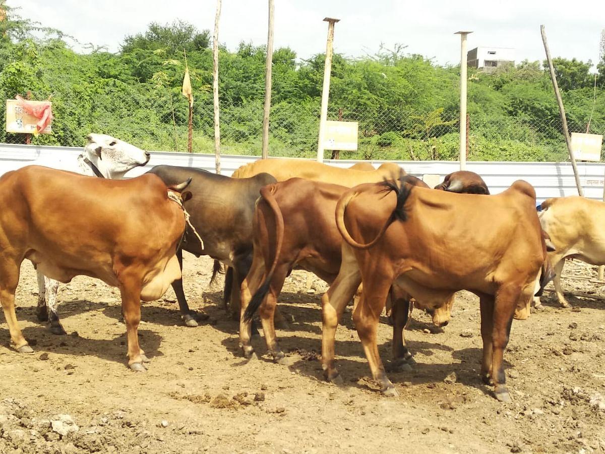 शेतकऱ्यांनो जनावरांना जपा, नव्या रोगाचे थैमान