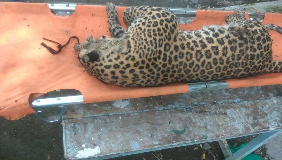 एमआयडीसी राष्ट्रीय महामार्गालगत आढळला मृत बिबट