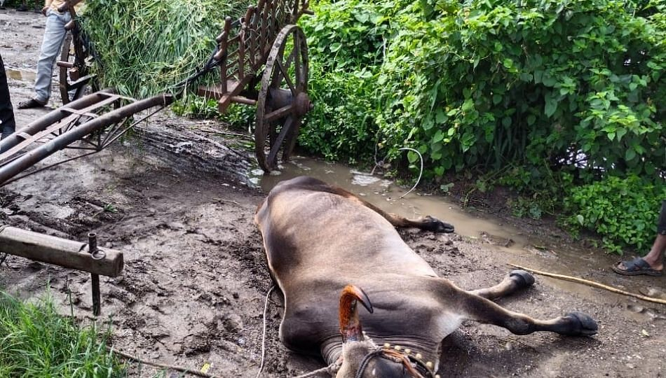 साज चढविण्यापुर्वीच बैलाचा मृत्यू; दुर्देवी घटनेने शेतकरी कुटुंबाचे अश्रू थांबेना