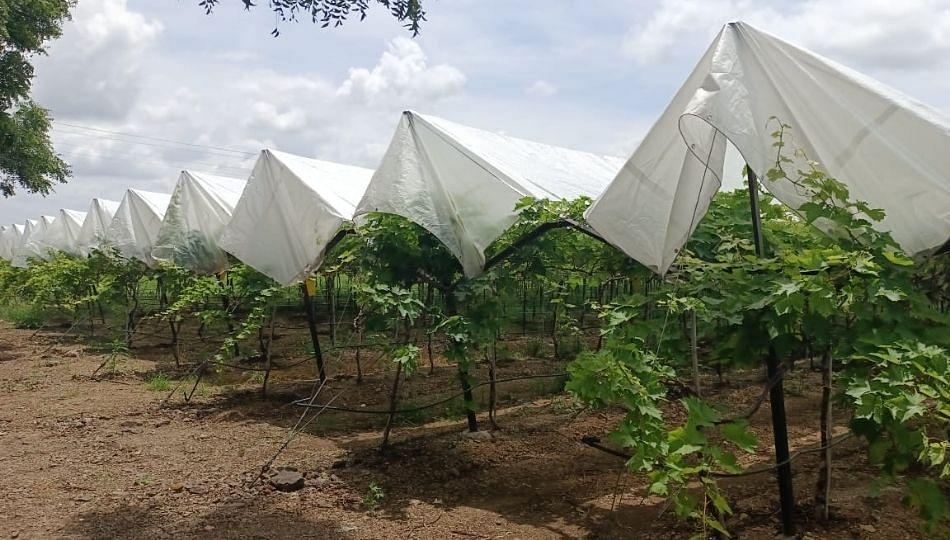 द्राक्ष बागा वाचविण्यासाठी सोलापूरात इस्त्रायली तंत्राज्ञानाचा वापर