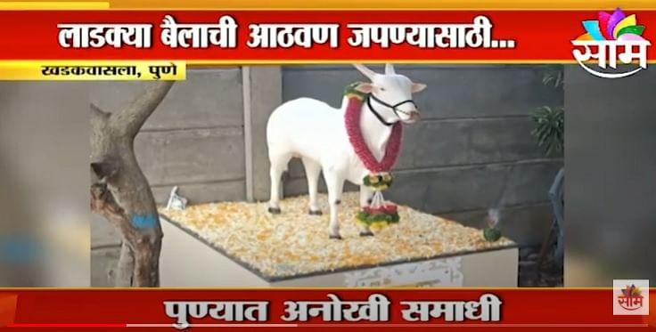 #PUNE | पुण्यातील 'आमदार' नावाच्या बैलाची समाधी पाहिलीत का ? | Maharashtra