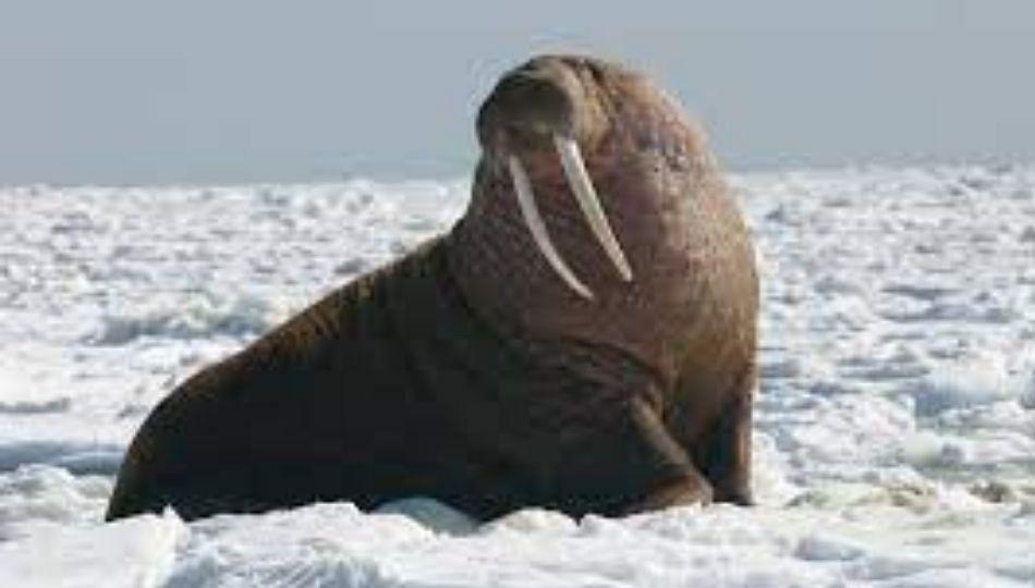 Walrus (वालरस)